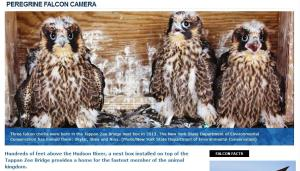 Screen shot of falcon nest box via specially-placed camera