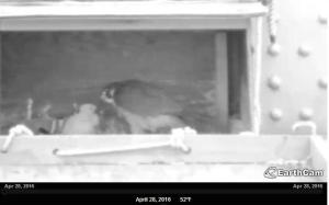 falcon feeding